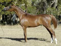 Valouria as a yearling - click to enlarge